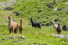 Alpaca family portrait while looking at you Stock Photography