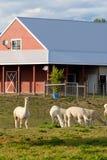 Alpaca farm. Royalty Free Stock Image