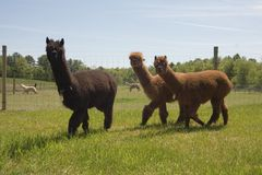 Alpaca Farm Stock Photography