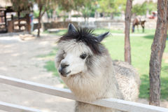 Alpaca in the farm Royalty Free Stock Photography