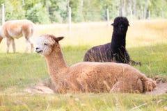 Alpaca on farm Stock Photo