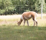 Alpaca on farm Stock Images