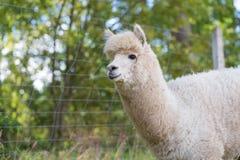 Alpaca on farm Stock Image