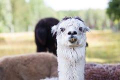 Alpaca on farm Royalty Free Stock Photos