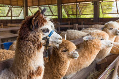 Alpaca in farm Royalty Free Stock Images