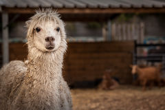 Alpaca on farm Royalty Free Stock Images