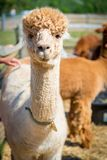 Alpaca. In the farm in a sunny day Royalty Free Stock Image