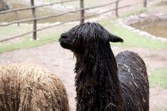 Alpaca At A Farm Stock Photography