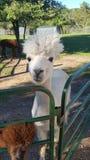 Alpaca feliz imagen de archivo