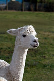 An Alpaca in a field. A shorn Alpaca in a field. An alpaca resembles a small llama in appearance and their wool is used for making knitted and woven items such Royalty Free Stock Photography