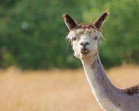 Alpaca in Field Stock Photography