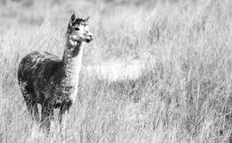 Alpaca in a field. Black and White. Alpaca in a field during the day in Queensland. Black and White Stock Photo