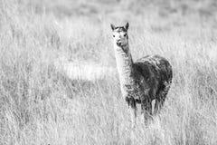 Alpaca in a field. Black and White. Alpaca in a field during the day in Queensland. Black and White Stock Image