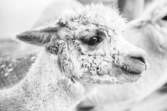 Alpaca in a field. Black and White. Alpaca in a field during the day in Queensland. Black and White Stock Images