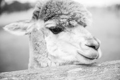Alpaca in a field. Black and White. Alpaca in a field during the day in Queensland. Black and White Royalty Free Stock Image