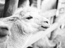 Alpaca in a field. Black and White. Alpaca in a field during the day in Queensland. Black and White Royalty Free Stock Images