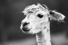 Alpaca in a field. Black and White. Alpaca in a field during the day in Queensland. Black and White Stock Photography