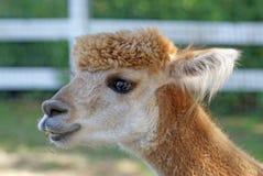 Alpaca in a Field Stock Image