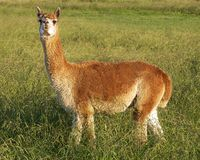 Alpaca in the field. A single brown alpaca in a field - late afternoon Stock Image