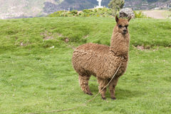 Alpaca In A Field Royalty Free Stock Image