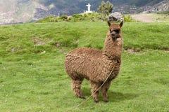 Alpaca In A Field Stock Photos