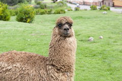 Alpaca In A Field Royalty Free Stock Photos