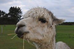 Alpaca. Firm animal in New Zealand Royalty Free Stock Photos