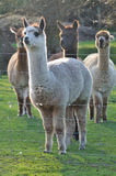 Alpaca. Firm animal in New Zealand Royalty Free Stock Images