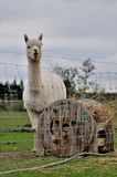 Alpaca. Firm animal in New Zealand Royalty Free Stock Photography