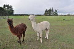Alpaca. Firm animal in New Zealand Royalty Free Stock Image