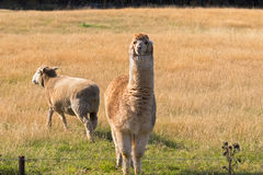 Alpaca, fluffy animal with beige fur stand next to sheep on gras Royalty Free Stock Photos
