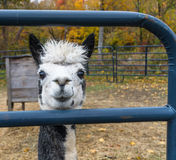 Alpaca, front view Royalty Free Stock Photos