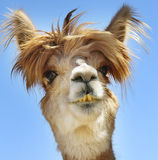 Alpaca with funny hair. This Alpaca stands out from the blue sky background. It is a detailed headshot of the Alpaca, which allows you to clearly see its eyes stock image