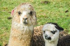 Alpaca funny portrait Stock Photos