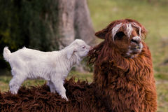 Alpaca and goat kid Stock Photo