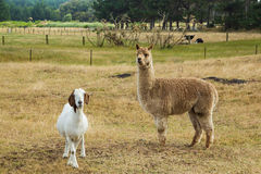 Alpaca & Goat Royalty Free Stock Photos