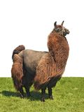 Alpaca on the grass Royalty Free Stock Photo