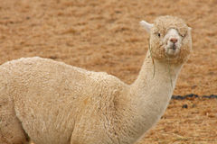 Alpaca grazing Royalty Free Stock Image