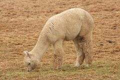 Alpaca Grazing Stock Photography
