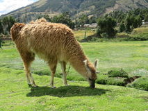 Alpaca Grazing. A chained Alpaca eating grass in a field in Peru Royalty Free Stock Images