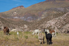 Alpaca Grazing. In a field in the small town of Putre in the Arica and Parinacota region of northern Chile. Alpaca are domesticated animals kept for their fine Stock Photo