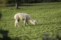 Alpaca grazing on grass in green field next to tree Stock Image