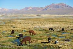 Alpaca Grazing Stock Photo