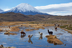 Alpaca Grazing Royalty Free Stock Photography