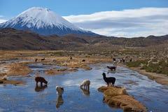 Alpaca Grazing Royalty Free Stock Image