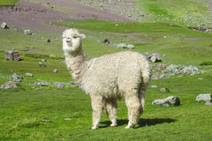 Alpaca on green field in the Andes Stock Images