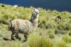 Alpaca on green field near lake Stock Image