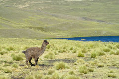 Alpaca on green field near lake Royalty Free Stock Photography