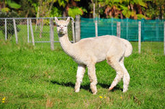 Alpaca on green grass Stock Images