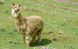 Alpaca on green mountain meadow Stock Images